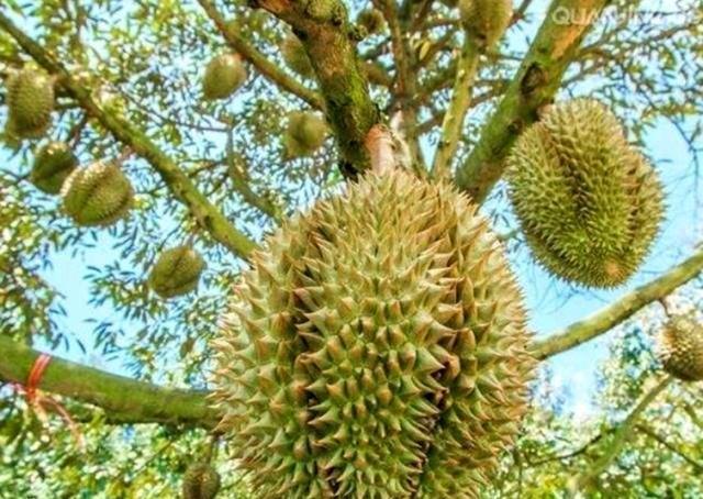 如果上帝给你一棵结不完果实的树,你最想吃哪一种水果?