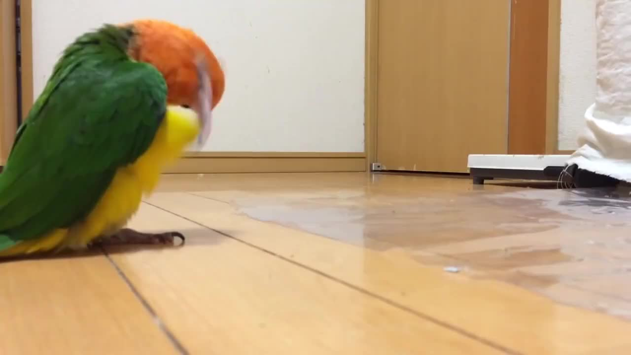 宠主散步没带鹦鹉气愤的它在家中模仿主人动作简直不要太搞笑