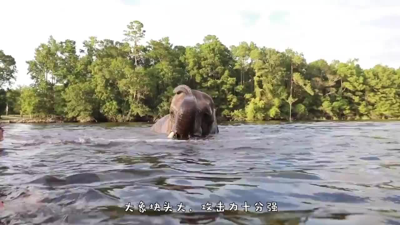 女子正在水里游泳,突然冒出一头大象,用鼻子将女子卷在空中!