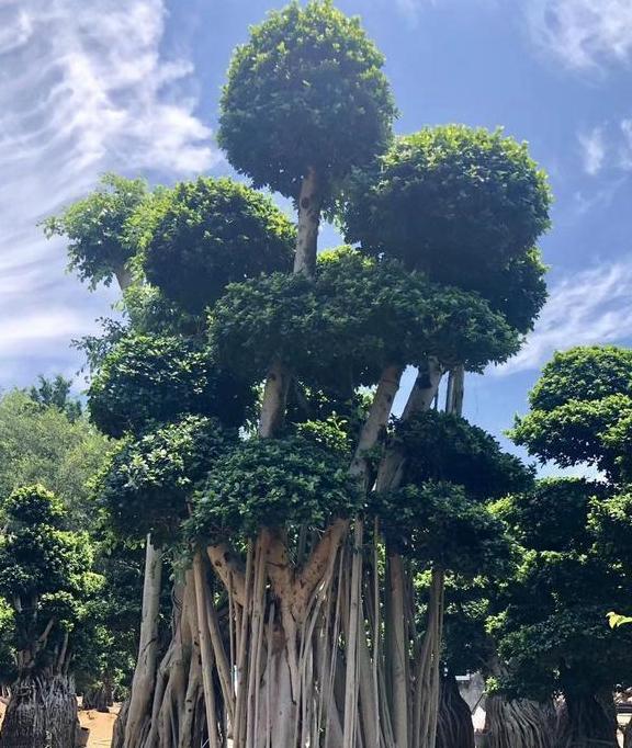 """有2种""""盆景树"""",株型独特,也是典型的""""镇宅树"""",寓意好!"""