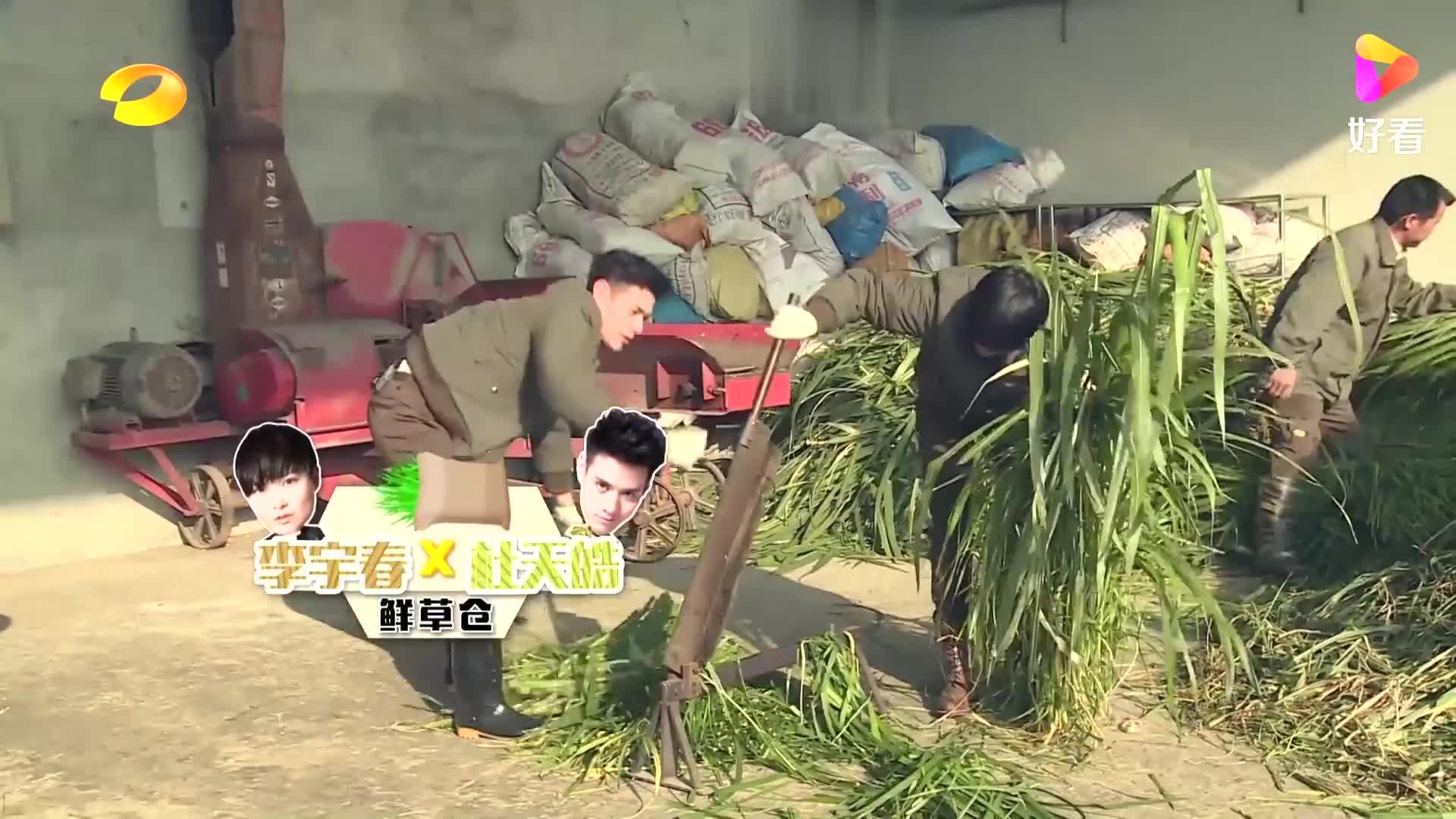 李宇春顶着大太阳切割象草,满头大汗,眼都睁不开了丨奇妙的朋友
