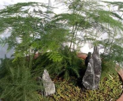 想养文竹,2个繁殖方法,自己就能种,一盆变3盆,枝繁叶茂!