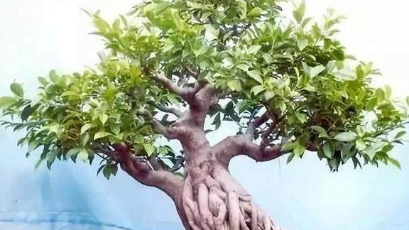 榕树悬根露抓不易养成?知道这4个提根方法,盆景老根交错盘横