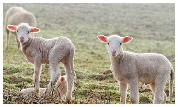 """十羊九不全,属羊人一生之中有大""""坎"""",是福是祸都在你!"""