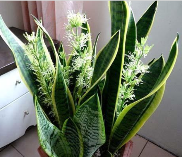 3种花非常的漂亮,招财纳福好运来,花香易打理,养在客厅美极了
