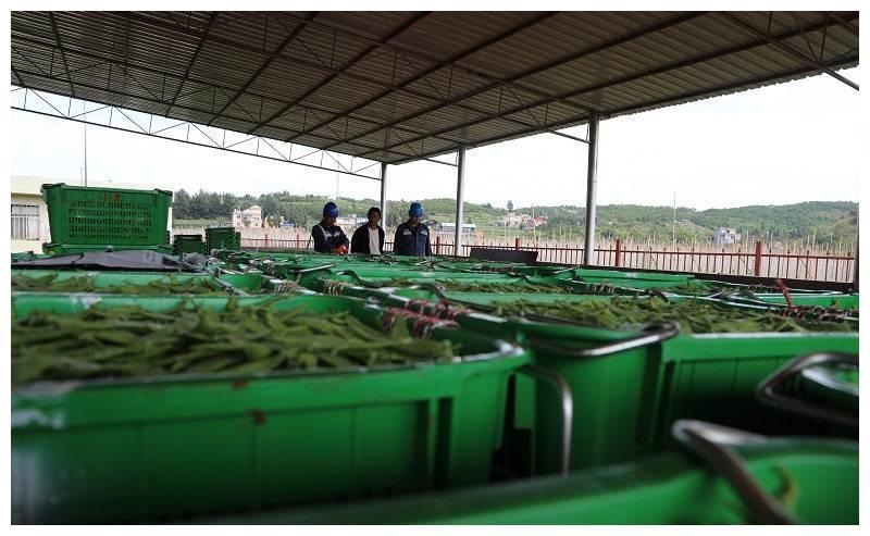 南方电网云南曲靖供电局有力有效助力农村种植业经济发展