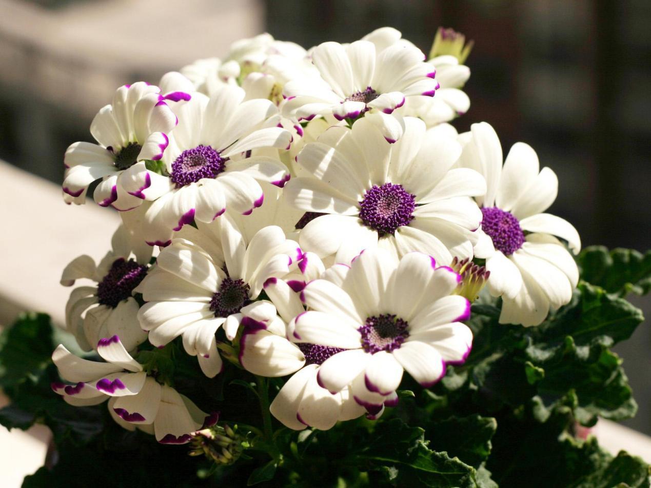 喜欢菊花,不如养盆精品瓜叶菊,亮丽清新喜气洋洋,花期到明年