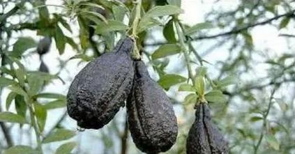 最贵最奇葩的水果:一颗5.5万元,一举打破世界吉尔斯纪录