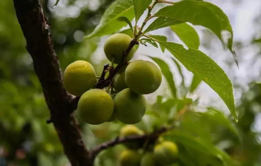 四季李!有谁见过攀枝花这种奇特的果树吗?