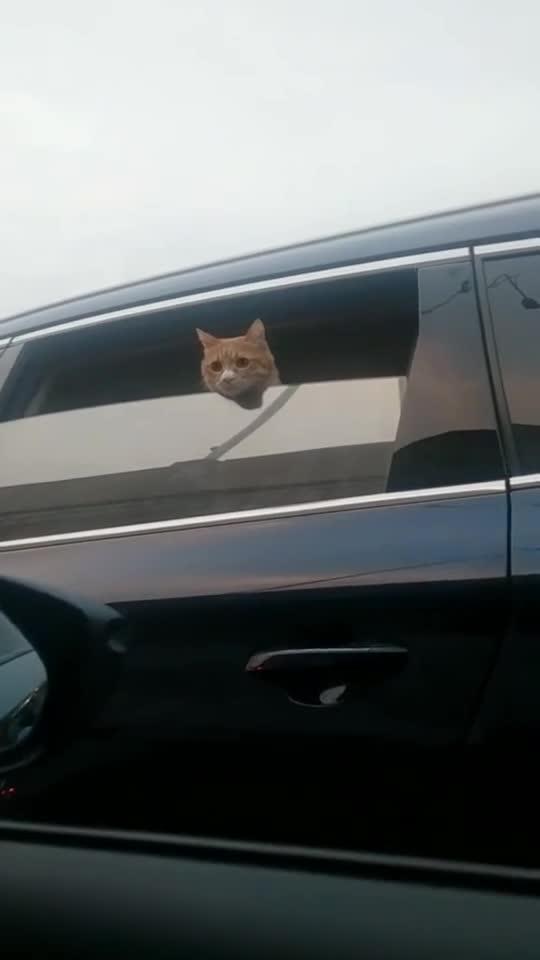 在高速上堵车,旁边车里突然探出一个猫头,好想在线撸猫!