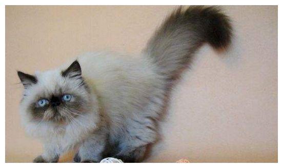 宠物托运从东莞到贵阳托运一只喜马拉雅猫