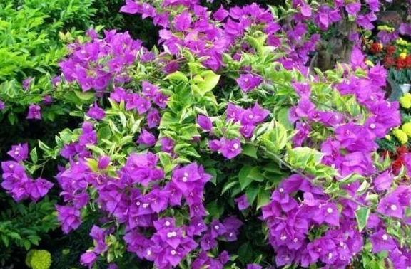 三角梅开花不断,学学5点养护技巧,叶子油绿花色艳,能开三个月