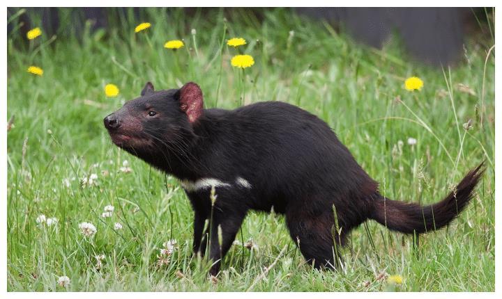 """一出生就被定名成""""恶魔""""的袋獾"""