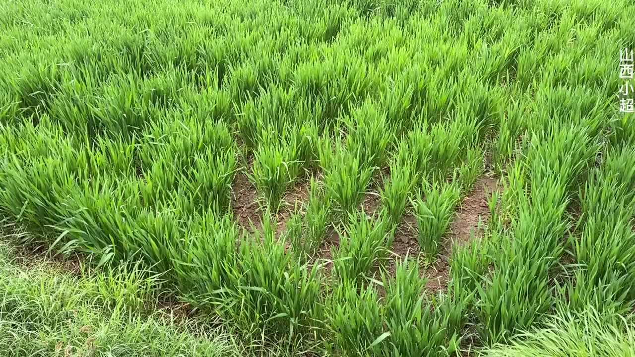 山西农村连下几天雨,麦子变成啥样了?农民朋友心里乐开了花