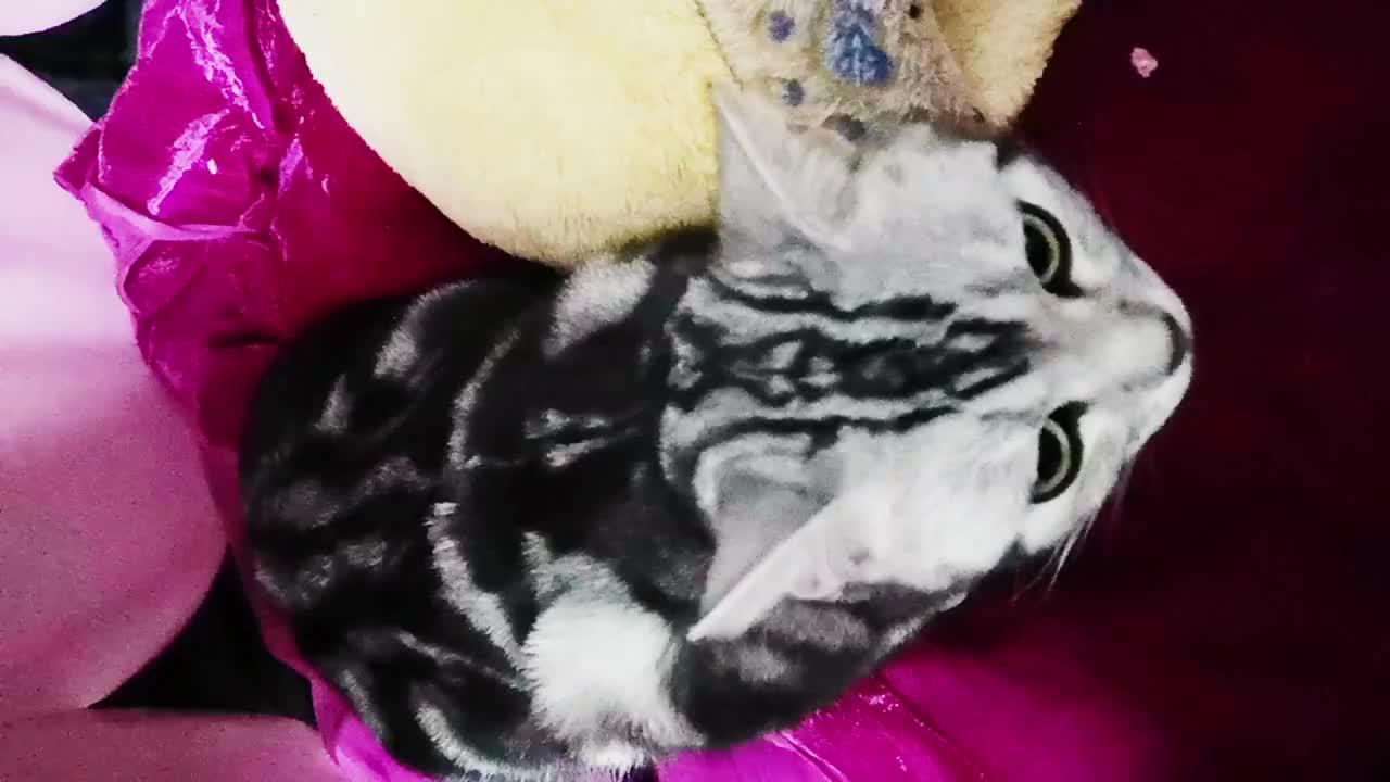 母猫生下三只小猫,仰面朝天给小猫崽喂奶,太搞笑了