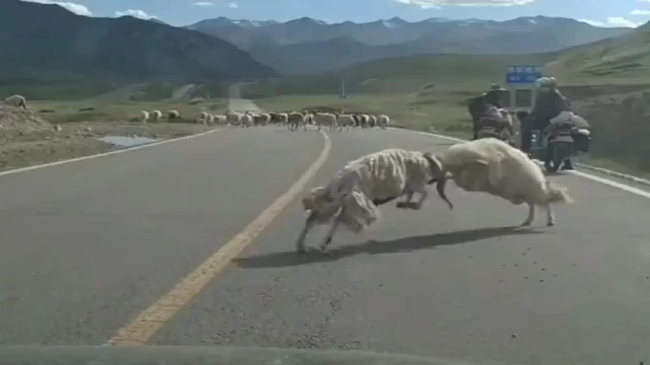 为了夺取羊群的权利,两只霸王羊公开了厮杀