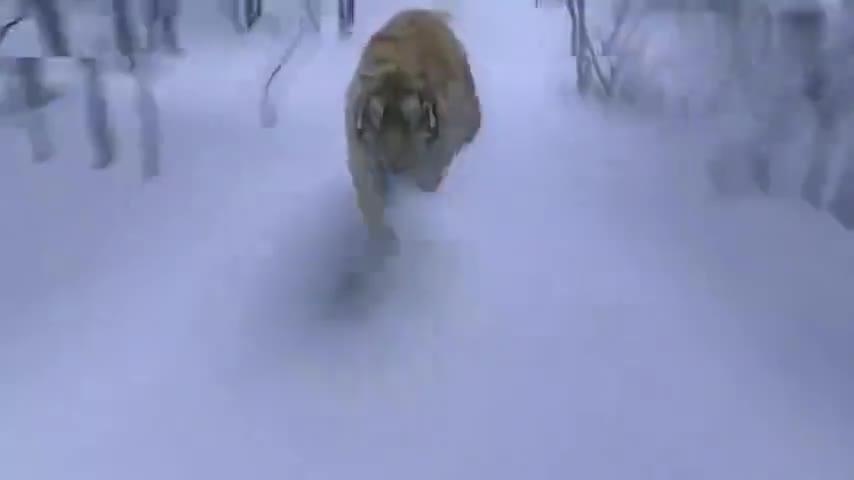 杨子荣对峙东北虎,打不过逃上树,怎料老虎也会上树