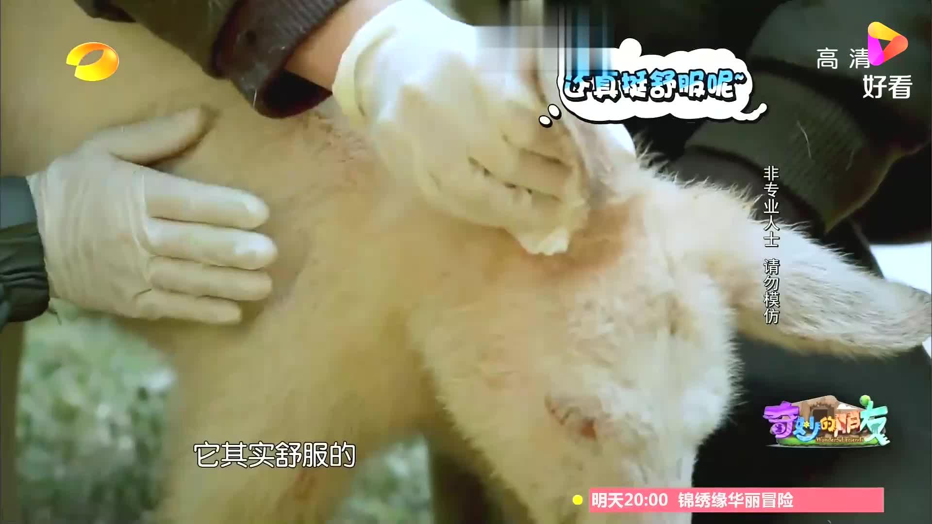 杜海涛给袋鼠上药,袋鼠一个吼叫,吓得他原地打怵丨奇妙的朋友