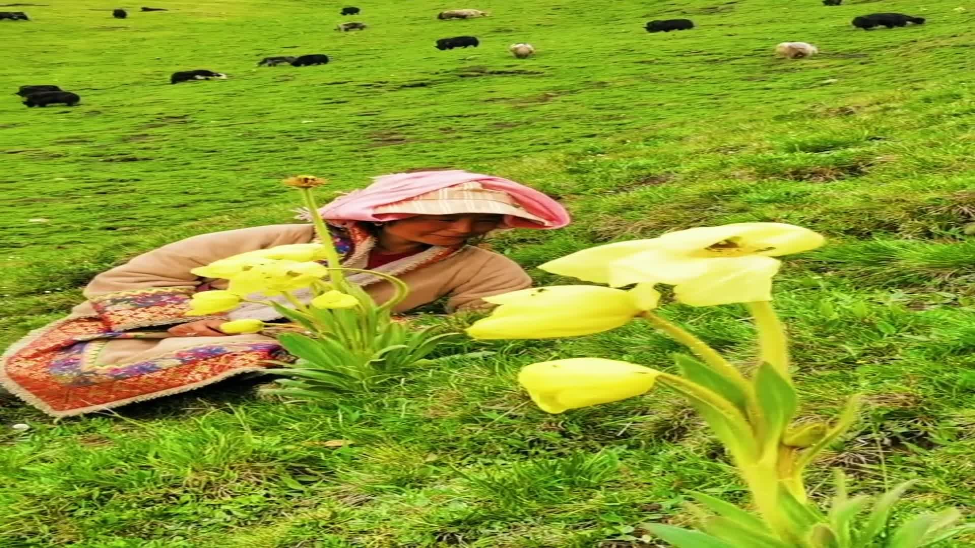 草原上的黄牡丹。