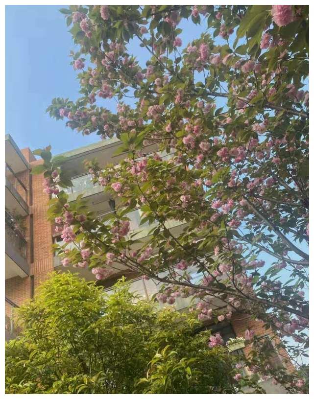 欧阳娜娜变回黑发 在庭院与樱花合拍 身穿卡通运动装慵懒清纯