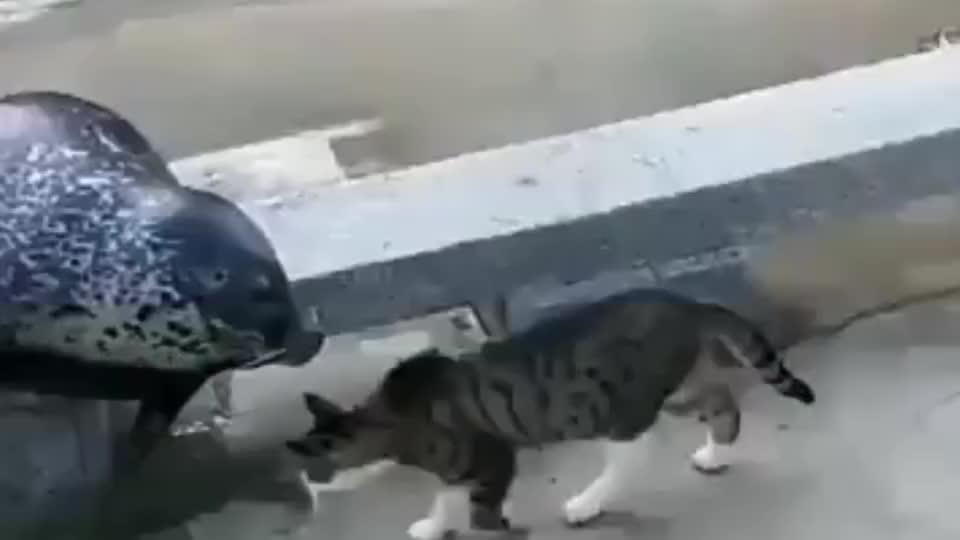 猫咪看到一只海豹,上前就几耳光:别以为你是条大鱼,我就怕你