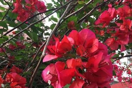 三角梅开花上百朵,做好3件事,枝繁叶茂,开花365天!