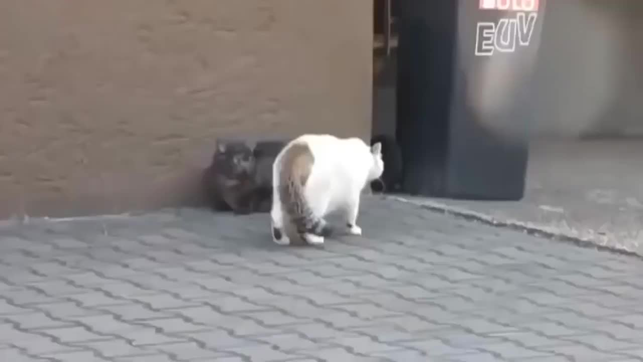 两只肥猫打架,弄的猫毛满天飞,太逗了!