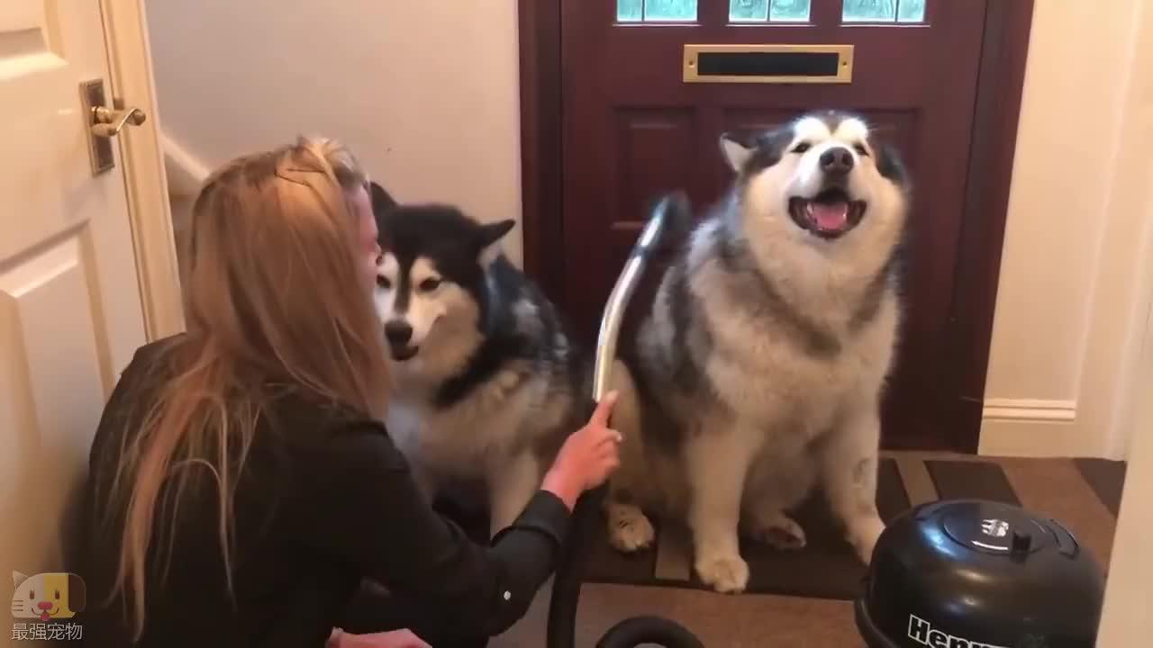 这家的阿拉斯加犬每次从外面回家,都要经过这道工序才能进屋