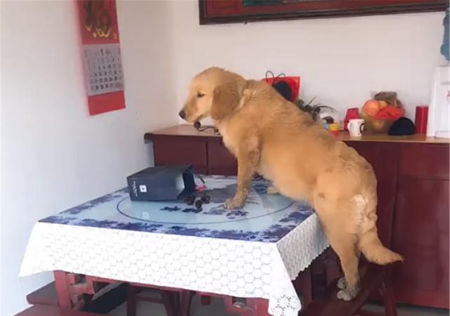 金毛会享受,躺在主人的凉椅上睡觉,狗:你看我舒服不……