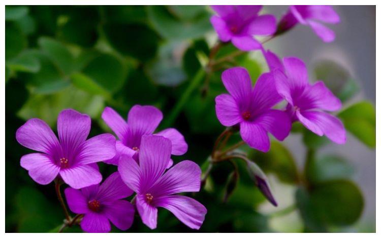 养护简单花朵鲜艳,阳台栽上几盆,非常容易爆盆,开花幽香暗淡