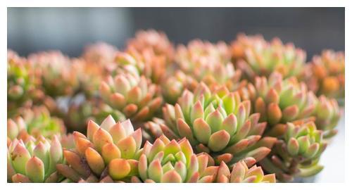 夏天多肉植物渡难关,掉叶水化介壳虫,用一招最管用