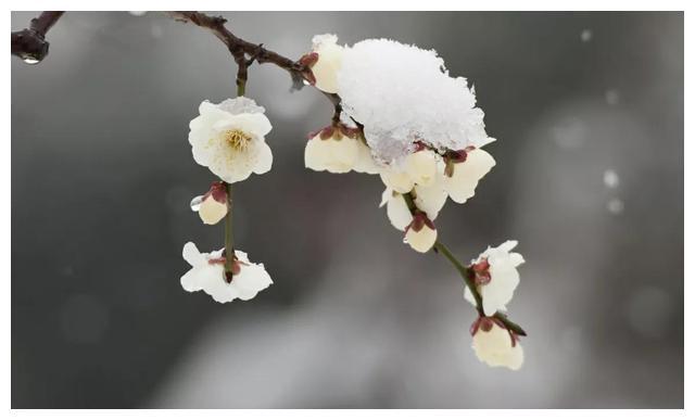 志强梅之诗句:素颜开就凌霜雪.不费东风送暖春!七五绝3: