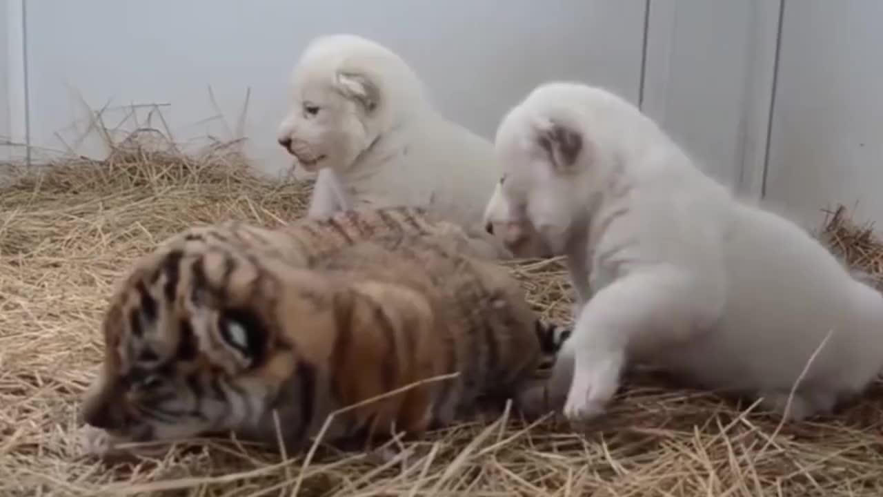 雄狮正在喝水,突然一个小家伙凑了过去,狮子吓得一哆嗦!