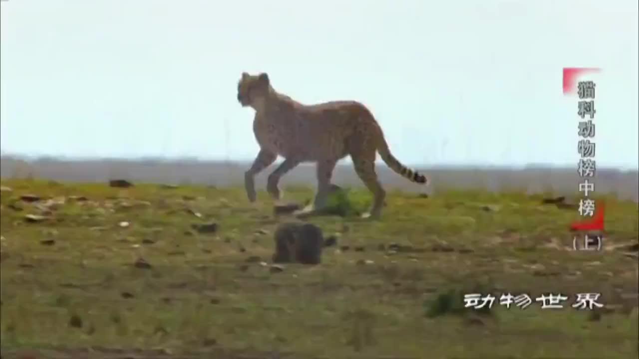 三只猎豹绑架一只雌猎豹,算不算强抢民女
