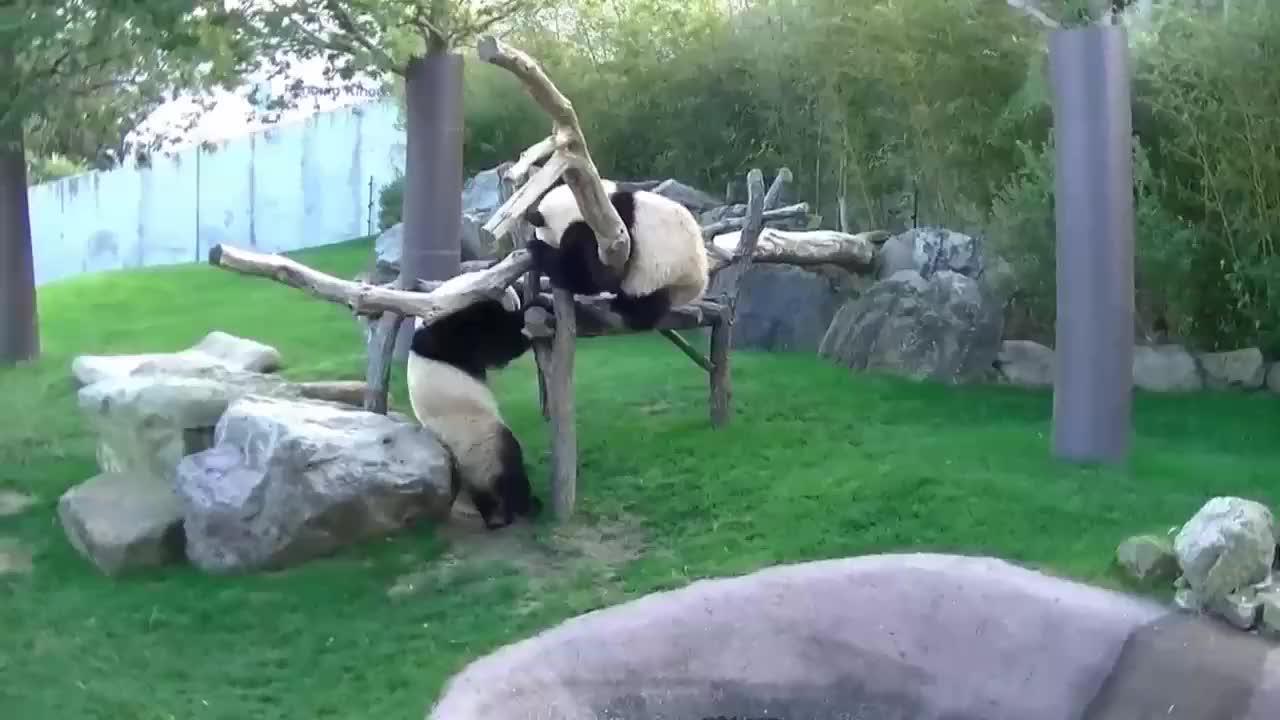 自称素质很高的日本人,大熊猫也彻底失态