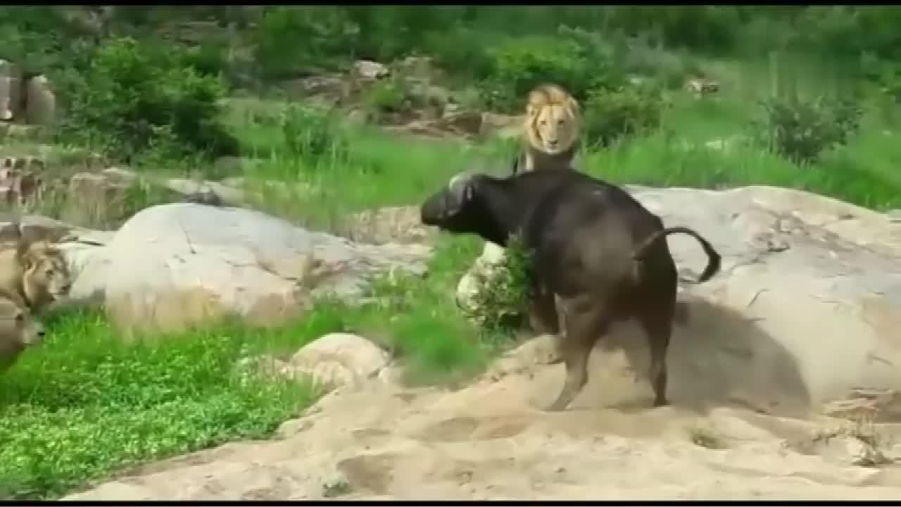 野牛被狮子逼到绝境,奋起反击,生死就在一瞬间