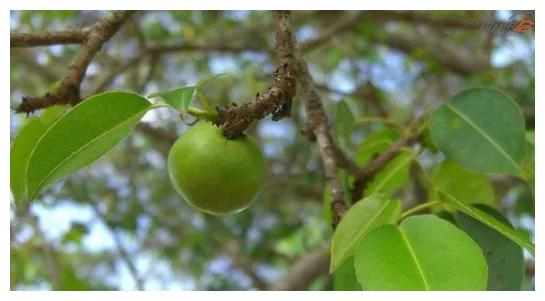 世界上最特殊的三种树,不是最长寿就是有剧毒