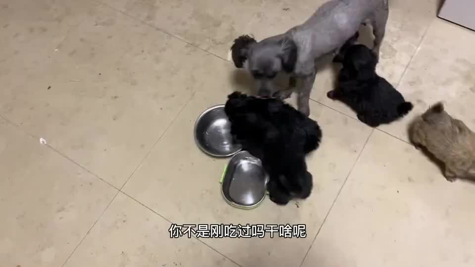主人不让小奶狗吃饭,小奶狗气得直接摔碗,奶凶奶凶的