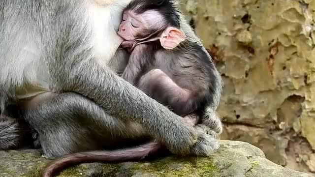 多么可爱的猴宝宝啊,猴宝宝温暖幸福牛奶