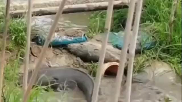 这就是鲤鱼跳龙门吗,隔着一米多宽的水泥,它学会了翻身!