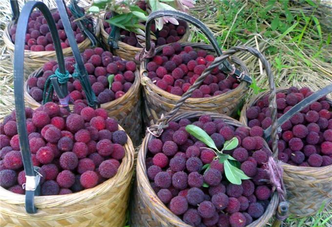 五月正是杨梅成熟季节,清远神峰关百亩杨梅送给游客任吃