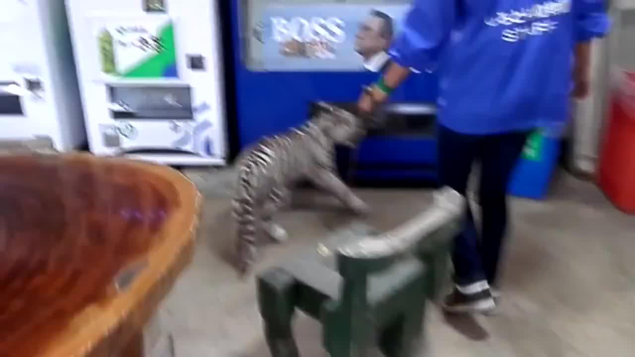 牵着一只3个月的小老虎,这货跟一只小狗有啥区别?