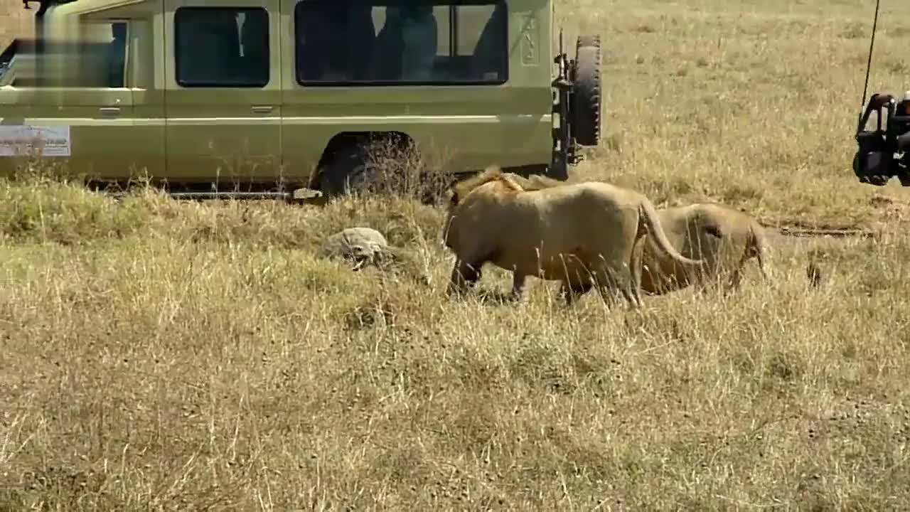 仇恨突破天际!一只鬣狗遇上两头雄狮,发生了简直无法想象的事!