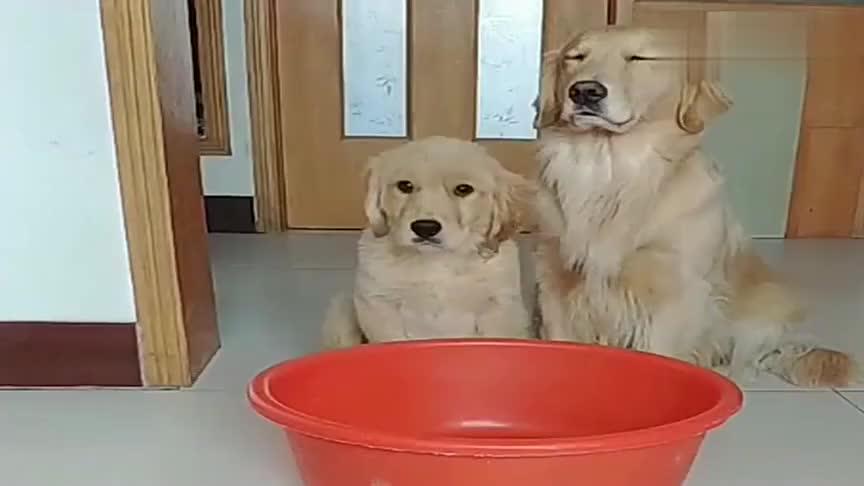 主人说吃狗肉,问金毛和孩子你们选择谁活下来,金毛反应好感动