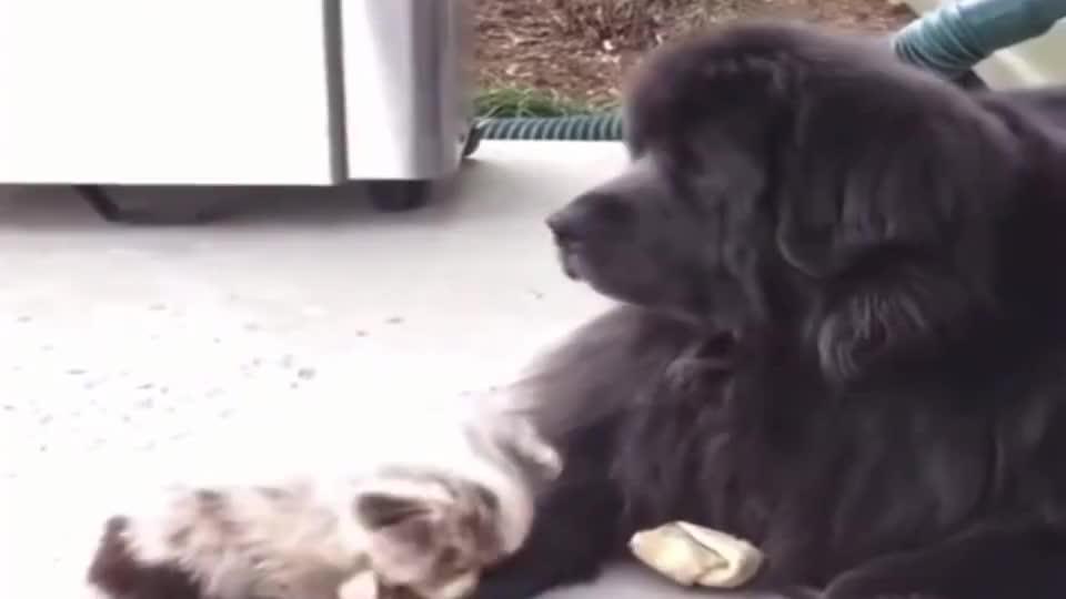 心机小狗就这样把大藏獒的食物偷走了!