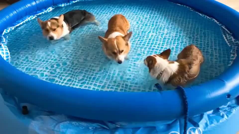 对柯基来说,这可能是最安全的泳池了!