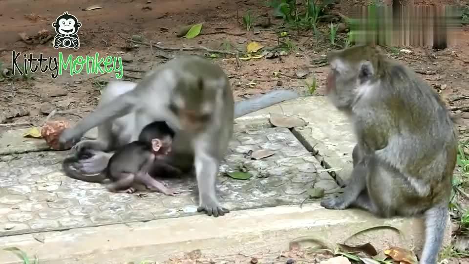 母猴怕猴宝宝走丢,整天拽着它的尾巴,谁能体会做妈妈的苦啊