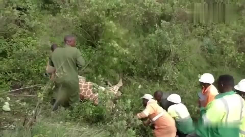 长颈鹿脖子上挂个轮胎,工作人员把它取下来还帮它处理伤口