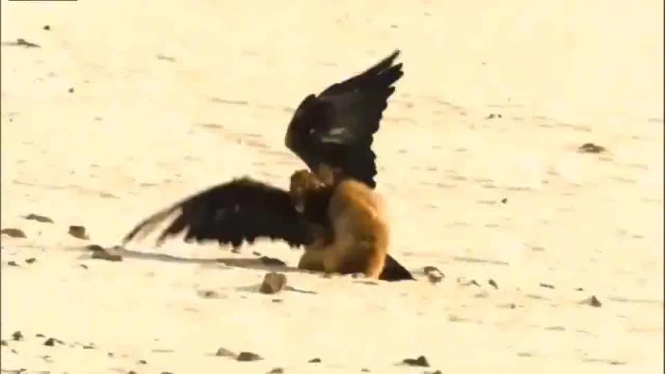 巨鹰与狐狸的对视,确认过眼神,是可以吃的人