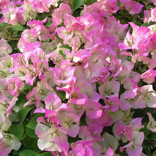 5种勤花三角梅,随便养一种,四季有花赏,新手也会养